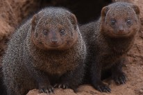 Dwarf mongoose (Helogale parvula) by Matthew Simpson