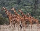 Reticulated giraffe (Giraffa reticulata) on Lolldaiga Hills Ranch. Photograph by Heather Wall.