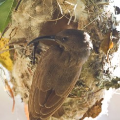 Adult female scarlet-chested sunbird (Nectarinia senegalensis)