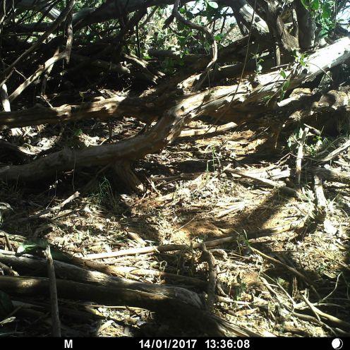 Spotted morning thrush (Cichladusa guttata)
