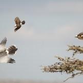 Eastern chanting goshawk (Melierax poliopterus) & northern white-crowned shrikes (Eurocephalus rueppelli)