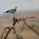 Eastern chanting goshawk (Melierax poliopterus)