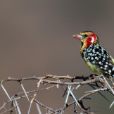 Red and yellow barbet (Trachyphonus erythrocephalus)