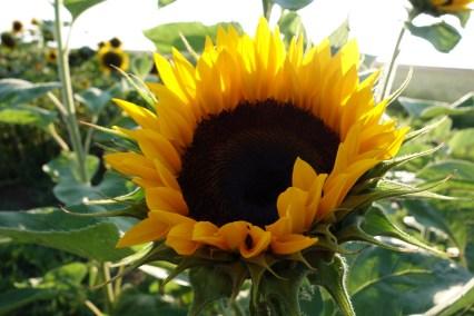 Sunny IV