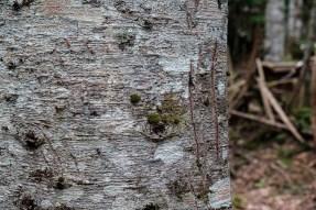 Traces de griffes d'ours brun