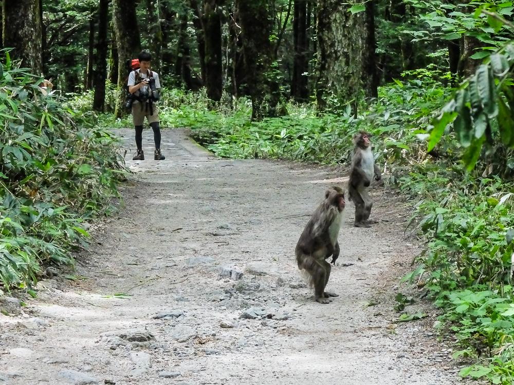 Les singes à Kamikochi