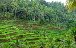 Tegal Lalang Rice Terrace