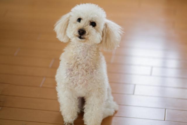 室内犬はフローリングが苦手だと知っていますか