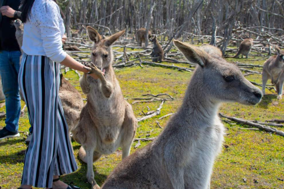 Feeding the Kangaroos at Phillip Island Wildlife Park1