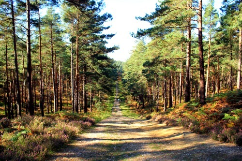 Enchanting view of Swinley Forest