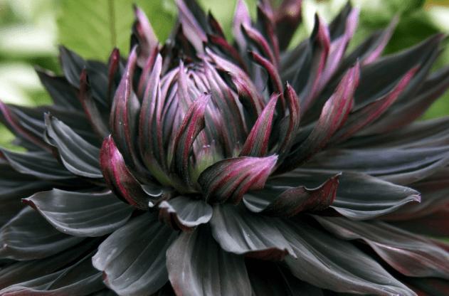 Unfolding Black Dahlia in Goth Garden