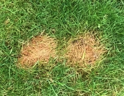 Lawn vs Dogs - example of urine damage