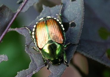 distinctive copper wings and shiny green head of Japanese beetle