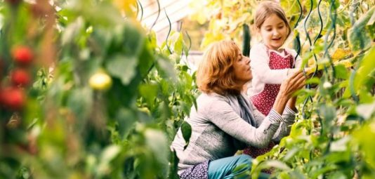 Happy healthy senior woman with her grandaughter harvesting vegetables in greenhouse. Woman and a small girl gardening.