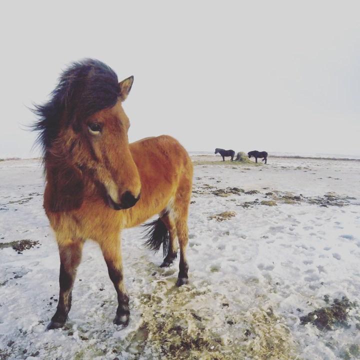 iceland_blog_horses