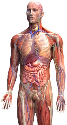 Distance Learning And Evening Courses Anatomy Amp Physiology Home Study ITEC Courses Throughout