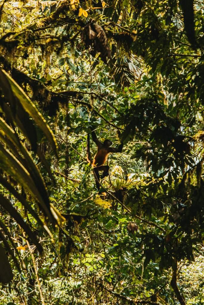 Apen in Costa Rica