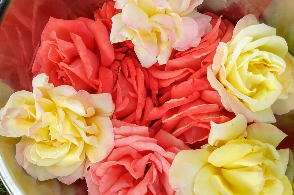 How to Harvest & Dry Rose Petals