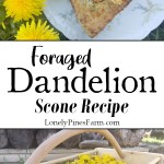 Dandelion scones make an excellent addition to your next brunch! These little breakfast pastries are made from foraged dandelion petals. The best part is, they aren't dry like your typical scones. So moist and delicious, you can't have just one! Perfect for first-time foragers and seasoned pros. Go pick some dandelions from your backyard and get baking!
