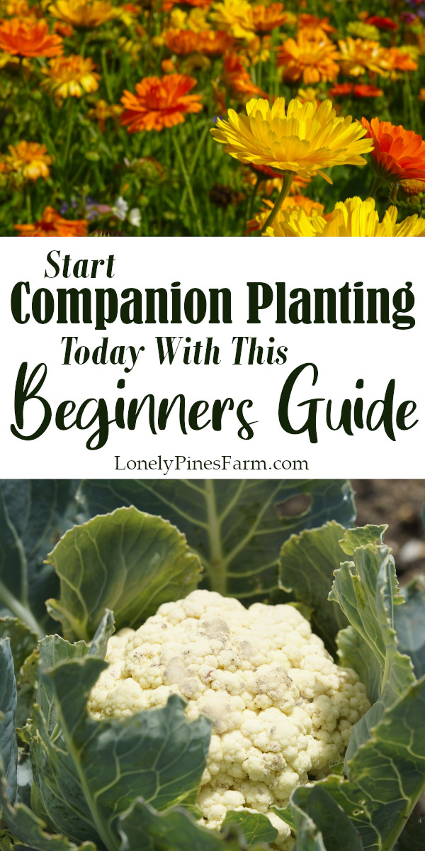Did you know that planting certain vegetables, flowers, and herbs next to each other helps them grow? With this beginners guide to companion planting, you can adjust the layout of your garden and help your plants thrive. Not only will your crops grow big & strong, but it also wards off nasty pests that can ruin your harvest.