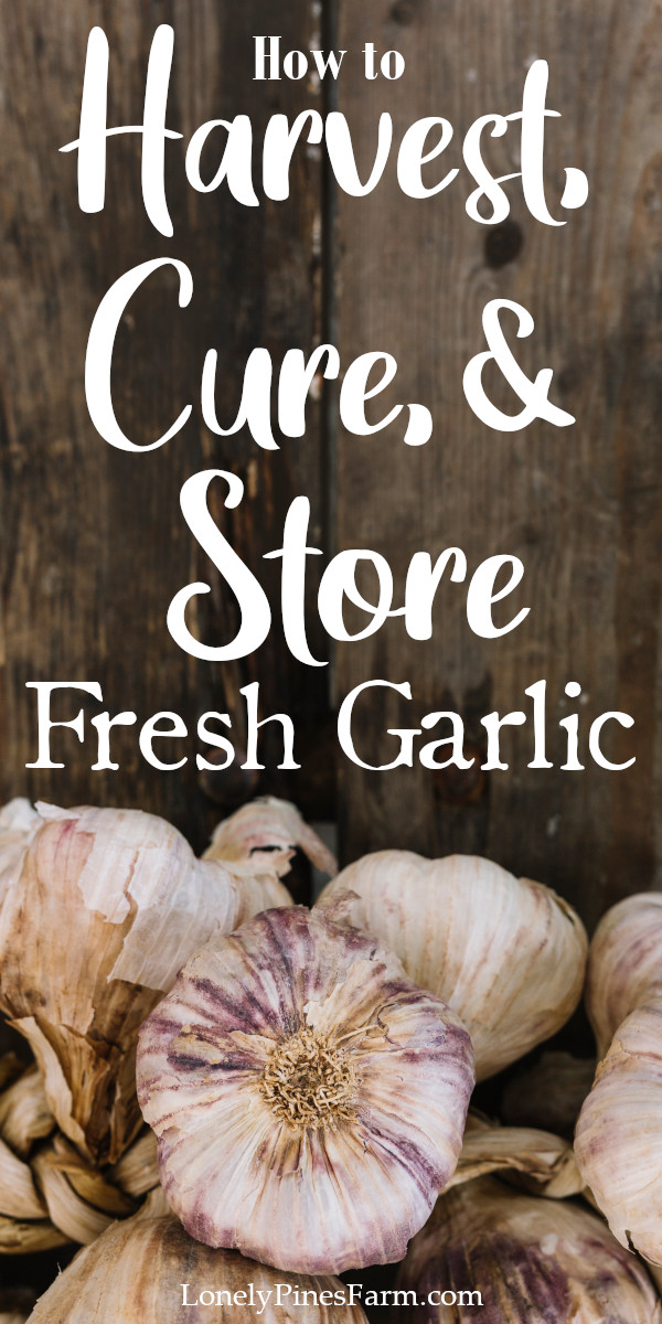 so, you decided this was the first year you wanted to try growing garlic. You planted them, tended to them all year, and now it's summer. The leaves on your plants are starting to die back & you're anxious to have your first taste of real garlic. So what's next?? In this post, we'll walk you through identifying when to harvest your garlic, the curing process, and long-term storage.