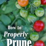 Are you having trouble growing fruit, instead of leaves? Are your tomato plants not really thriving? Then they could be in need of a trim! We'll walk you through the benefits of pruning tomato plants, some pitfalls to look out for, and basic pruning techniques - perfect even for a beginner gardeners!