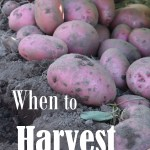 Do you know when to harvest your potatoes? You can go by date or you can rely on these tell-tale signs to know when your potatoes are mature. We'll let you know when to harvest potatoes for a great crop of large spuds!