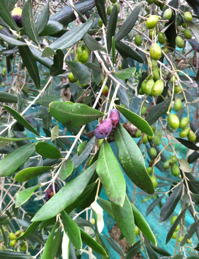 Un itinerario in Lucchesia alla scoperta dell'ulivo