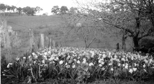 daffodils under the walnut trees at Springvale, Gumeracha, early 1900s