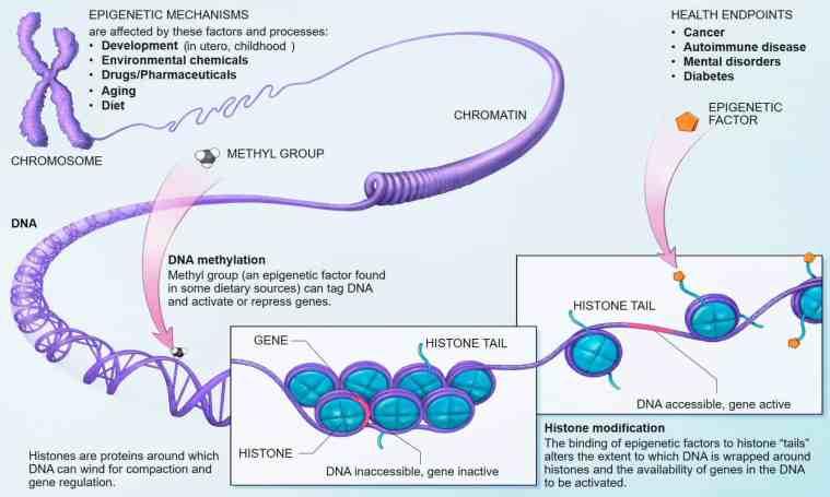 epigenetic factors longevity