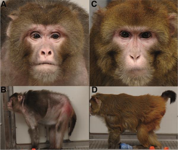 calorically restricted monkeys