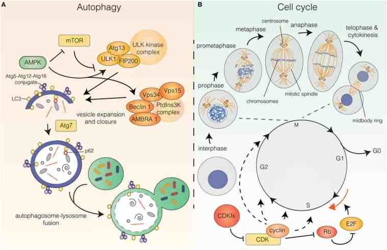 Autophagy and the cell cycle as part of the longevity glassary
