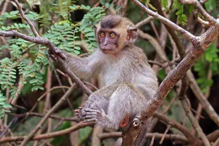 meddiet monkey study