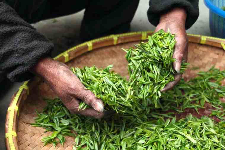 green tea leaves life extension