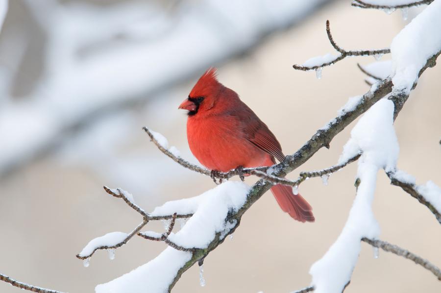 Cardinal-Snow1.jpg