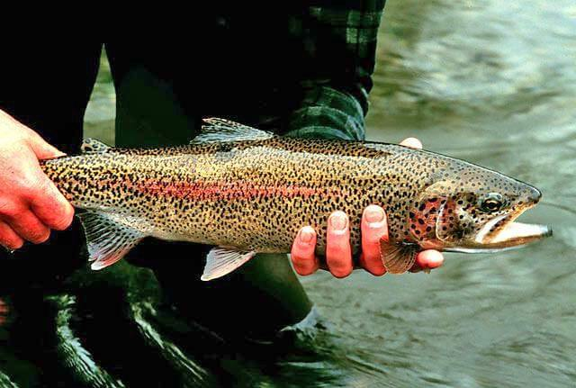 An adult Rainbow trout
