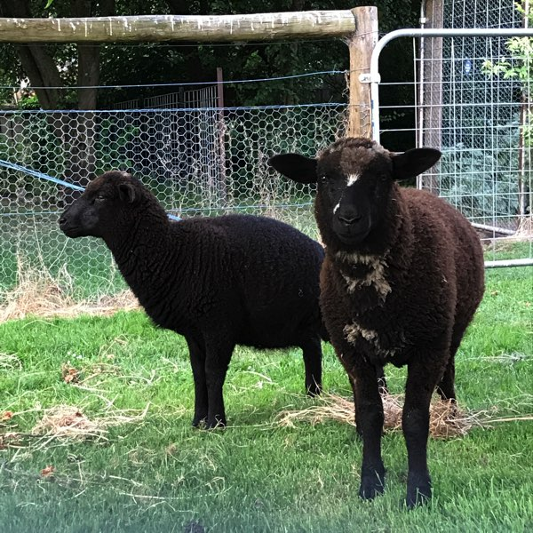 Dolly and Stormy, our resident sheep.