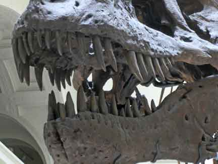 Sue, the T Rex in Chicago's Field Museum
