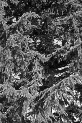 Longmead House's towering landmark pine