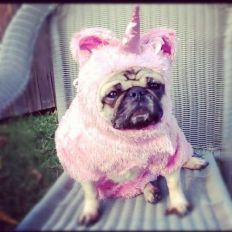 Pug dressed as unicorn