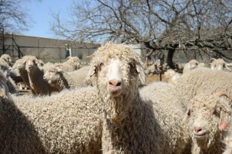 Angora Goats!
