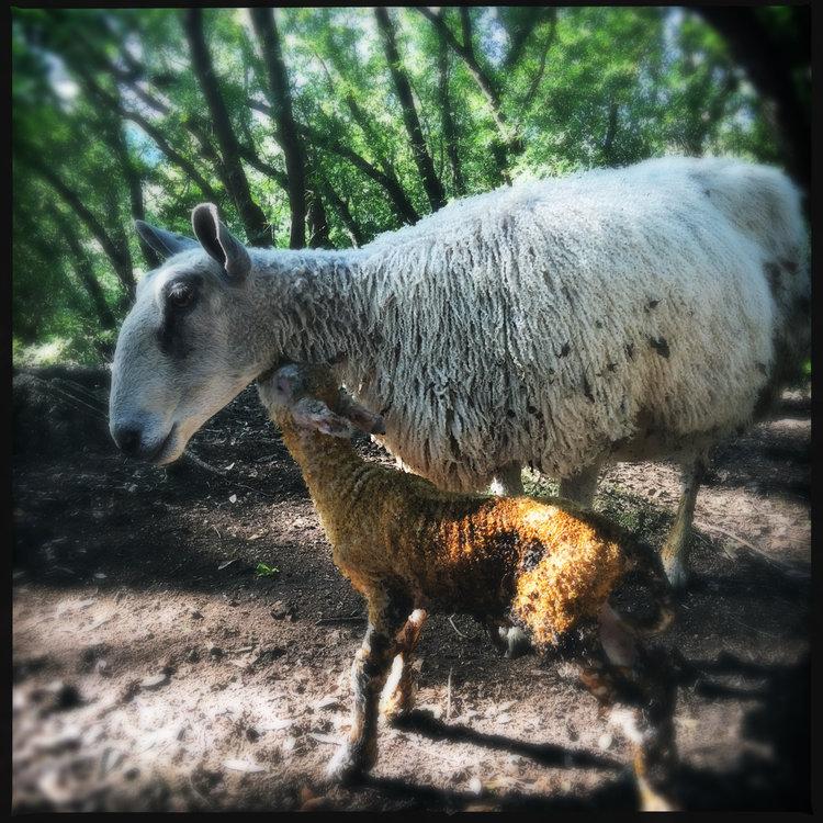Sheep on the Twirl Ranch Loop London