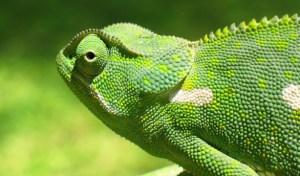 camaleon-loquesomos