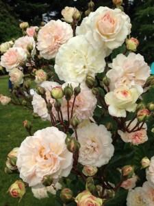 sch peach roses
