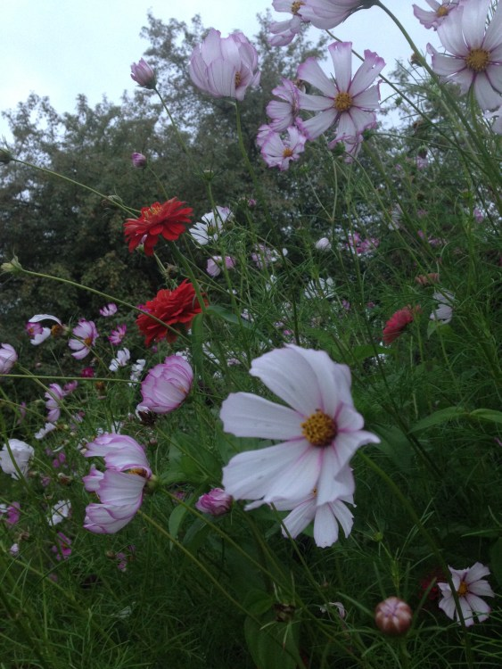 cosmos and zinnia