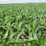 cornfield-north-central-illinois-farm-land-auction_estate-sale