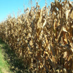 east-central-illinois-farm-land-auction-cornfield