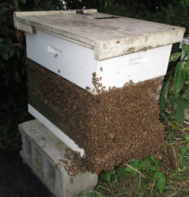 Africanized Bees Are Tropical Bees And Have No Winter Honey Storage Behavior