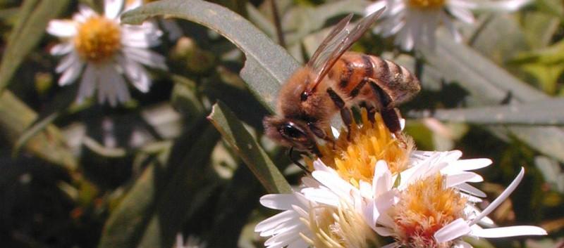 Honey Bee on Sunflowers