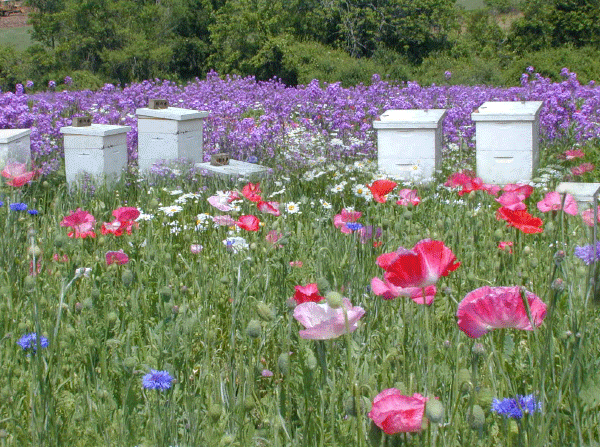 Bee Hives in wildflowers